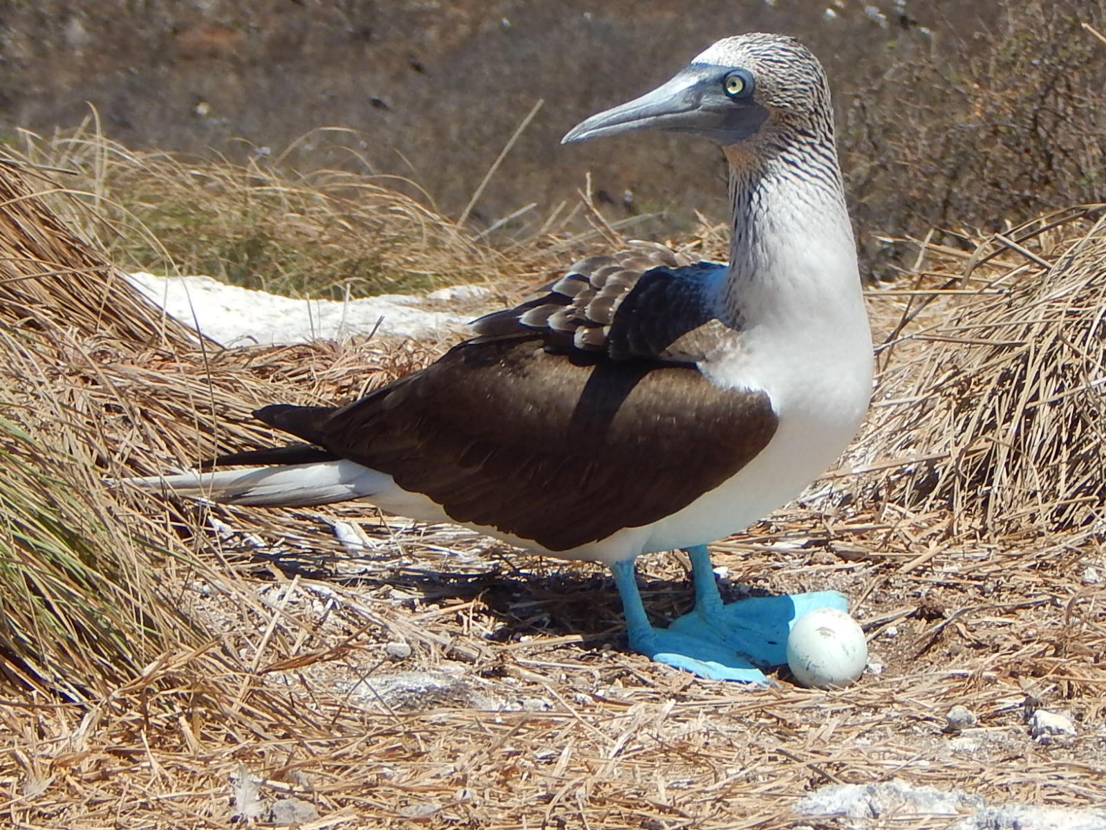 Blue Footed Boobie II The Adventure Travelers