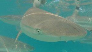 Moorea Blacktip Shark getting close The Adventure Travelers